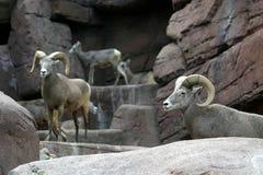 bighorn πρόβατα βράχων Στοκ φωτογραφία με δικαίωμα ελεύθερης χρήσης