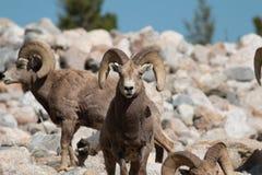 bighorn πρόβατα κριών Στοκ φωτογραφίες με δικαίωμα ελεύθερης χρήσης