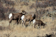 bighorn πρόβατα τρία Στοκ φωτογραφίες με δικαίωμα ελεύθερης χρήσης