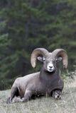 bighorn πρόβατα Στοκ Φωτογραφίες