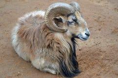 bighorn πρόβατα Στοκ Φωτογραφία