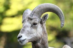 bighorn δύσκολα πρόβατα βουνών Στοκ εικόνα με δικαίωμα ελεύθερης χρήσης