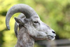 bighorn δύσκολα πρόβατα βουνών Στοκ φωτογραφίες με δικαίωμα ελεύθερης χρήσης