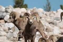 bighorn трамбует овец Стоковые Фотографии RF