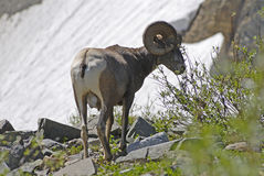 Bighorn Royalty Free Stock Photography