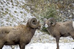 Bighorn 2 Stock Photography