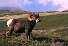 bighorn baranu cakle Obraz Stock