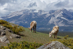 Bighorn cakle Fotografia Royalty Free