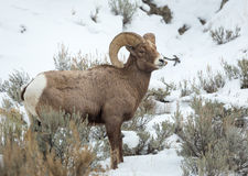 Bighorn cakle Obrazy Royalty Free