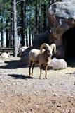 Bighorn cakle Zdjęcia Stock
