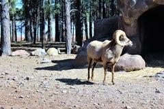 Bighorn cakle Zdjęcie Stock