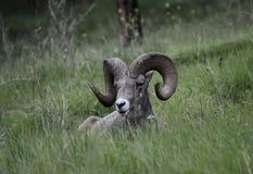 Bighorn cakli baran Zdjęcia Royalty Free