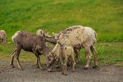 Bighorn cakli rodzina w Kananaskis, Alberta, Kanada Zdjęcie Stock