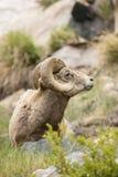 Bighorn con erba in bocca Immagine Stock Libera da Diritti