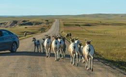 Bighorn de los Badlands foto de archivo libre de regalías