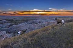 Bighorn de los Badlands Imagen de archivo