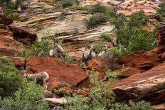 Bighorn del deserto nel moutain di Zion National Park Fotografia Stock