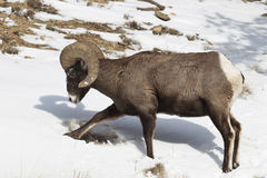 Bighorn digging in snow Stock Images