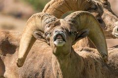 Bighorn en celo Ram Portrait del desierto Imagenes de archivo