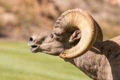 Bighorn en celo Ram Side Portrait del desierto Fotos de archivo libres de regalías