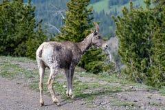 Bighorn Ewe. A Bighorn Sheep, Ewe, in Yellowstone National Park royalty free stock photography
