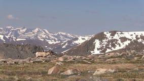 Bighorn  Ewe in Colorado. A rocky mountain bighorn sheep ewe in the Colorado high country stock footage