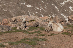 Bighorn Ewe with Lamb Bedded Royalty Free Stock Photos