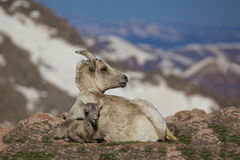 Bighorn Ewe and Lamb Stock Photo