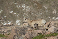 Bighorn Ewe and Lamb Stock Photography