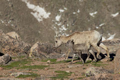 Bighorn Ewe and Lamb Walking Royalty Free Stock Photos