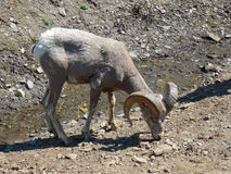 A bighorn ewe licking salt. A sheep with large horns as seen along the ice parkway in alberta royalty free stock image