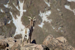 Bighorn Ewe Royalty Free Stock Photos