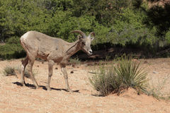 Bighorn Ewe stock photography