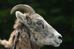 Bighorn får arkivfoto
