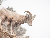 Bighorn får Arkivfoton