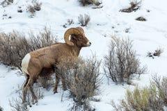 Bighorn får Royaltyfri Fotografi