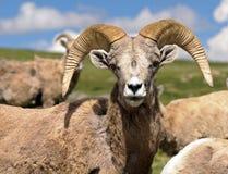 Bighorn får Arkivbild