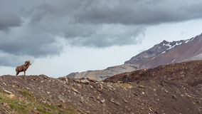 Bighorn får Royaltyfria Foton