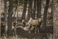 Bighorn Female Sheep Or Ewe Ovis Canadensis Big Mammal In The Foresr East Of British Columbia Canada Stock Images