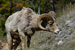 Bighorn Grazing in Spring Royalty Free Stock Image