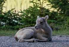 Bighorn Lamb in Banff National Park Royalty Free Stock Photography