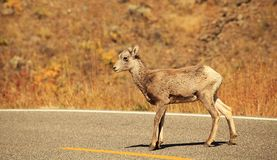 Bighorn Lamb. Crossing the road near the Lamar Valley of Yellowstone National Park Stock Image