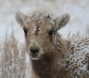 Bighorn lamb in Grand Teton National Park Winter. Snow storm Stock Image