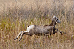 Bighorn lamb leaping. Stock Images