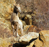 Bighorn Lamb on Rocks. A Bighorn baby lamb in the Colorado Rocky Mountains poses on a rock pile stock photography