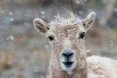 Bighorn lamb Royalty Free Stock Photos
