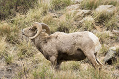 Bighorn lip curling Stock Images