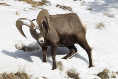 Bighorn looking for food in snow Stock Photos