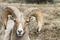 Bighorn. A mature bighorn sheep with a very nice curl stares curiously Stock Photography