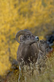 Bighorn mountain sheep ram and lamb in autumn gold Stock Photography